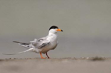 Forster's Tern (Sterna forsteri), Texas  -  Marcel van Kammen/ NiS