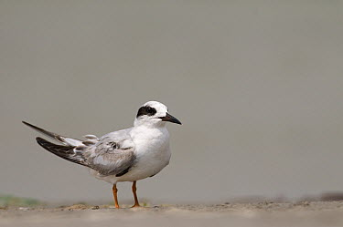 Forster's Tern (Sterna forsteri) juvenile, Texas  -  Marcel van Kammen/ NiS