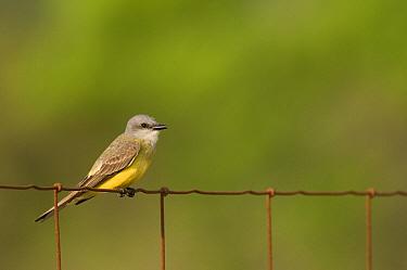 Couch's Kingbird (Tyrannus couchii) perching, Texas  -  Marcel van Kammen/ NiS