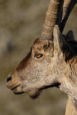 Pyrenean Ibex (Capra pyrenaica) portrait, Sierra de Gredos, Spain  -  Simon Littlejohn/ NiS
