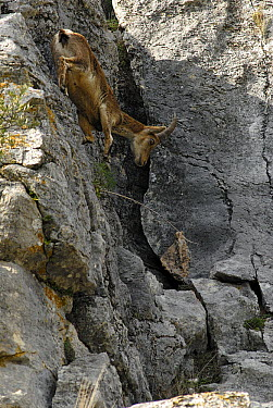 Pyrenean Ibex (Capra pyrenaica) male climbing down steep rock face, Sierra de Gredos, Spain  -  Simon Littlejohn/ NiS