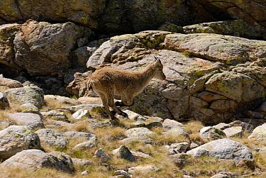 Pyrenean Ibex (Capra pyrenaica) juvenile running over large boulders, Sierra de Gredos, Spain  -  Simon Littlejohn/ NiS