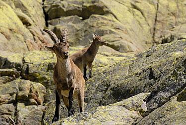 Pyrenean Ibex (Capra pyrenaica) pair standing on rocks, Sierra Bermeja, Andalusia, Spain  -  Simon Littlejohn/ NiS