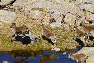 Pyrenean Ibex (Capra pyrenaica) juveniles jumping over water, Sierra de Gredos, Spain  -  Simon Littlejohn/ NiS