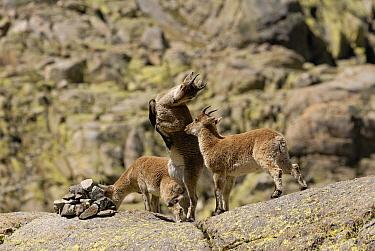 Pyrenean Ibex (Capra pyrenaica) juveniles playing, Sierra de Gredos, Spain  -  Simon Littlejohn/ NiS