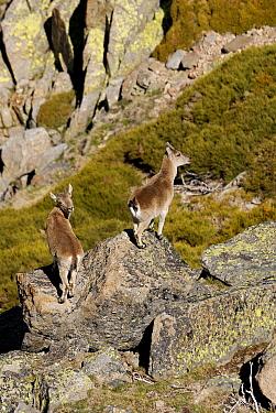 Pyrenean Ibex (Capra pyrenaica) juveniles standing on rocks, Sierra de Gredos, Spain  -  Simon Littlejohn/ NiS