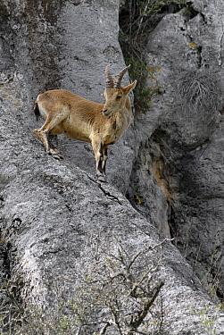 Pyrenean Ibex (Capra pyrenaica) juvenile, Sierra Bermeja, Andalusia, Spain  -  Simon Littlejohn/ NiS