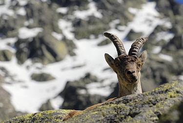 Pyrenean Ibex (Capra pyrenaica), Sierra de Gredos, Spain  -  Simon Littlejohn/ NiS