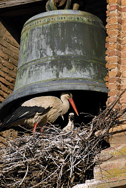 White Stork (Ciconia ciconia) with chick on a nest built under a church bell, Spain  -  Simon Littlejohn/ NiS