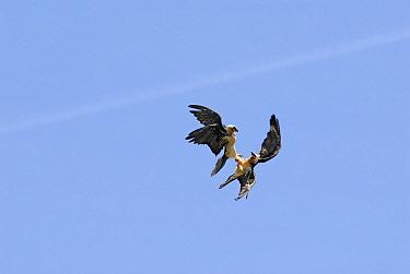 Bearded Vulture (Gypaetus barbatus) pair fighting in mid-air, Ordesa National Park, Spain  -  Simon Littlejohn/ NiS