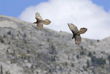 Bearded Vulture (Gypaetus barbatus) pair chasing each other in mid-air, Ordesa National Park, Spain  -  Simon Littlejohn/ NiS