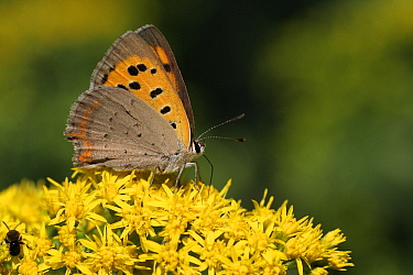 Small Copper (Lycaena phlaeas) butterfly feeding on Goldenrod (Solidago sp), Vriezenveen, Overijssel, Netherlands  -  Karin Rothman/ NiS