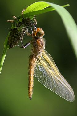 Scarce Chaser (Libellula fulva) dragonfly, newly emerged, Overijssel, Netherlands  -  Karin Rothman/ NiS