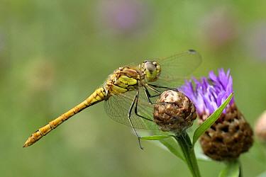 Vagrant Darter (Sympetrum vulgatum) dragonfly male, Overijssel, Netherlands  -  Karin Rothman/ NiS