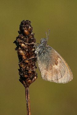Small Heath (Coenonympha pamphilus) butterfly covered with dewdrops, Overijssel, Netherlands  -  Karin Rothman/ NiS