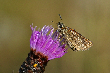 European Skipper (Thymelicus lineola) butterfly covered with dewdrops, Overijssel, Netherlands  -  Karin Rothman/ NiS