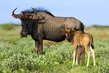 Blue Wildebeest (Connochaetes taurinus) cow with calf, Deception Valley, Central Kalahari Game Reserve, Botswana  -  Vincent Grafhorst
