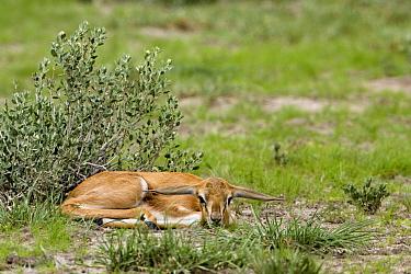 Springbok (Antidorcas marsupialis) fawn trying to hide, Lethiau Valley, Central Kalahari Game Reserve, Botswana  -  Vincent Grafhorst
