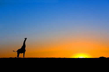 Southern Giraffe (Giraffa giraffa) silhouetted against the setting sun, Lethiau Valley, Central Kalahari Game Reserve, Botswana  -  Vincent Grafhorst