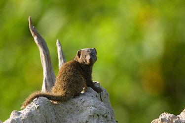 Dwarf Mongoose (Helogale parvula) on termite mound, Moremi Game Reserve, Okavango Delta, Botswana  -  Vincent Grafhorst