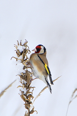 European Goldfinch (Carduelis carduelis) on withered Large-flowered Evening Primrose (Oenothera erythrosepala), Harderwijk, Netherlands  -  Jan Vermeer