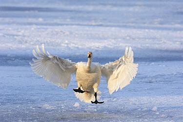 Whooper Swan (Cygnus cygnus) landing on the ice, Hokkaido, Japan  -  Jan Vermeer