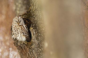 Ural Owl (Strix uralensis) on the lookout from nest cavity, Hokkaido, Japan  -  Jan Vermeer