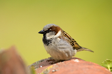 House Sparrow (Passer domesticus) male on roof tile, Seville, Andalusia, Spain  -  Ramon Navarro/ NiS