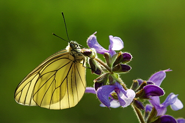 Black-veined White (Aporia crataegi) butterfly on Meadow Clary (Salvia pratensis), Hoogeloon, Netherlands  -  Silvia Reiche