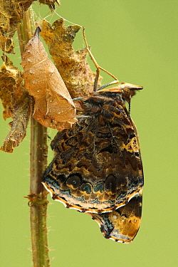 Red Admiral (Vanessa atalanta) butterfly, Hoogeloon, Netherlands. Sequence 1 of 14  -  Silvia Reiche