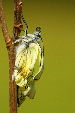 Black-veined White (Aporia crataegi) metamorphosis sequence, Hoogeloon, Netherlands. Sequence 13 of 15  -  Silvia Reiche