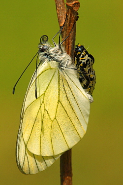 Black-veined White (Aporia crataegi) metamorphosis sequence, Hoogeloon, Netherlands. Sequence 14 of 15  -  Silvia Reiche
