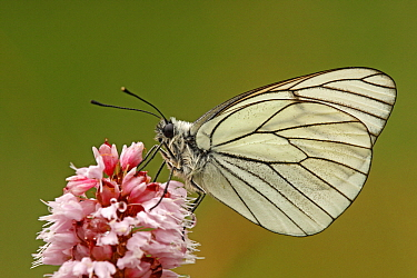 Black-veined White (Aporia crataegi) butterfly, Eifel, Germany  -  Silvia Reiche