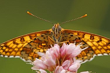 Glanville Fritillary (Melitaea cinxia) butterfly, Eifel, Germany  -  Silvia Reiche