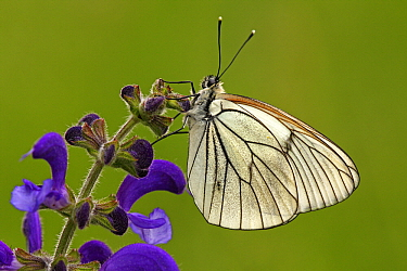 Black-veined White (Aporia crataegi) butterfly on Meadow Clary (Salvia pratensis), Eifel, Germany  -  Silvia Reiche