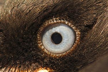 Eurasian Jackdaw (Corvus monedula), eye of chick, Hoogeloon, Netherlands  -  Silvia Reiche