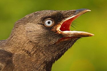 Eurasian Jackdaw (Corvus monedula) chick calling, Hoogeloon, Netherlands  -  Silvia Reiche
