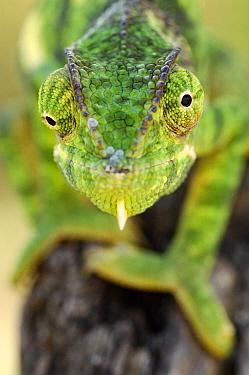 Flap-necked Chameleon (Chamaeleo dilepis) portrait, Serengeti National Park, Tanzania  -  Martin van Lokven