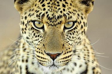 Leopard (Panthera pardus) female, Serengeti National Park, Tanzania  -  Martin van Lokven