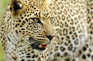 Leopard (Panthera pardus) female on the move, Serengeti National Park, Tanzania  -  Martin van Lokven