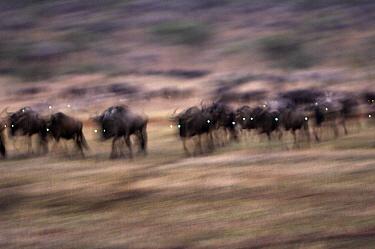 Blue Wildebeest (Connochaetes taurinus) herd migrating in early morning, Serengeti National Park, Tanzania  -  Martin van Lokven