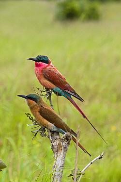 Carmine Bee-eater (Merops nubicus) adult and juvenile perching, Moremi Game Reserve, Okavango Delta, Botswana  -  Vincent Grafhorst