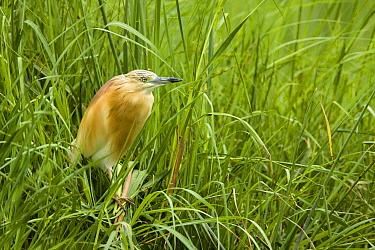 Squacco Heron (Ardeola ralloides) in lush green reed, Moremi Game Reserve, Okavango Delta, Botswana  -  Vincent Grafhorst