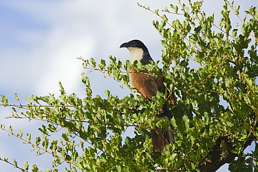 Coppery-tailed Coucal (Centropus cupreicaudus) perched in a bush on the Khwai River floodplain, Moremi Game Reserve, Okavango Delta, Botswana  -  Vincent Grafhorst