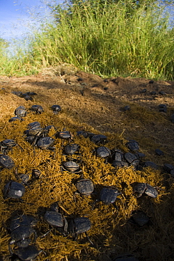 Dung Beetle (Kheper aegyptiorum) on a heap of dung, Khama Rhino Sanctuary, Serowe, Botswana  -  Vincent Grafhorst