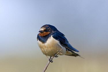 Barn Swallow (Hirundo rustica) perched on a branch, Khama Rhino Sanctuary, Serowe, Botswana  -  Vincent Grafhorst