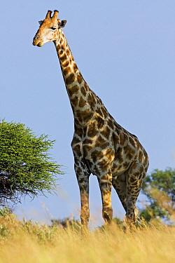 South African Giraffe (Giraffa giraffa giraffa) male, Botsalano Game Reserve, South Africa  -  Vincent Grafhorst