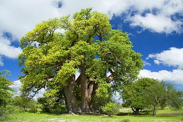 Baobab (Adansonia digitata), Gweta, Makgadikgadi Pans, Botswana  -  Vincent Grafhorst
