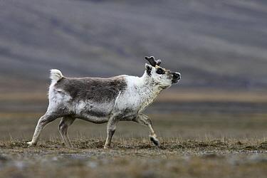 Svalbard Reindeer (Rangifer tarandus platyrhynchus) walking, Svalbard, Norway  -  Jasper Doest
