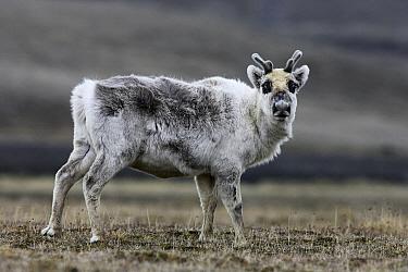 Svalbard Reindeer (Rangifer tarandus platyrhynchus), Svalbard, Norway  -  Jasper Doest